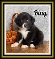 King Male Australian Shepherd $1400