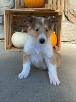 Matilda Female AKC Collie $1100