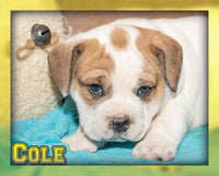 Cole Male Beabull (Full Price $800.00) Deposit