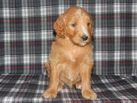 Cooper Male Goldendoodle (Full Price $950.00) Deposit