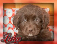 Luke Male AKC Newfoundland (Full Price 999.00) Deposit