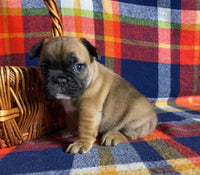 french bulldog for sale near me akron canton cleveland columbus toledo