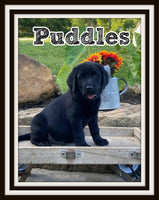 Puddles Male AKC Labrador Retriever $900
