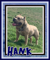 Hank Male ABKC American Bully $2100