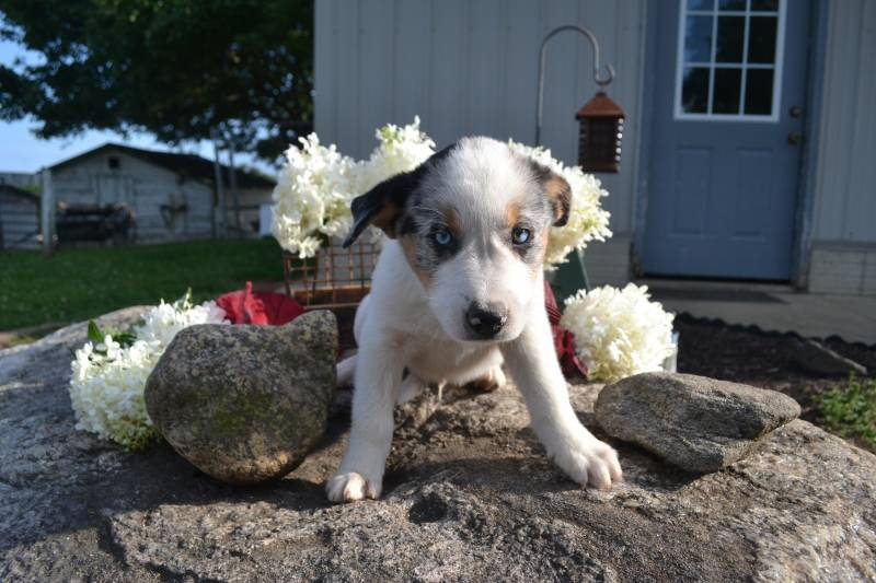 Blue Heeler mix puppies | That Doggy in the Window | That ...