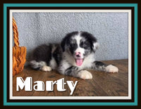 Marty Male Australian Shepherd $2200