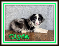 Clyde Male Australian Shepherd $2200