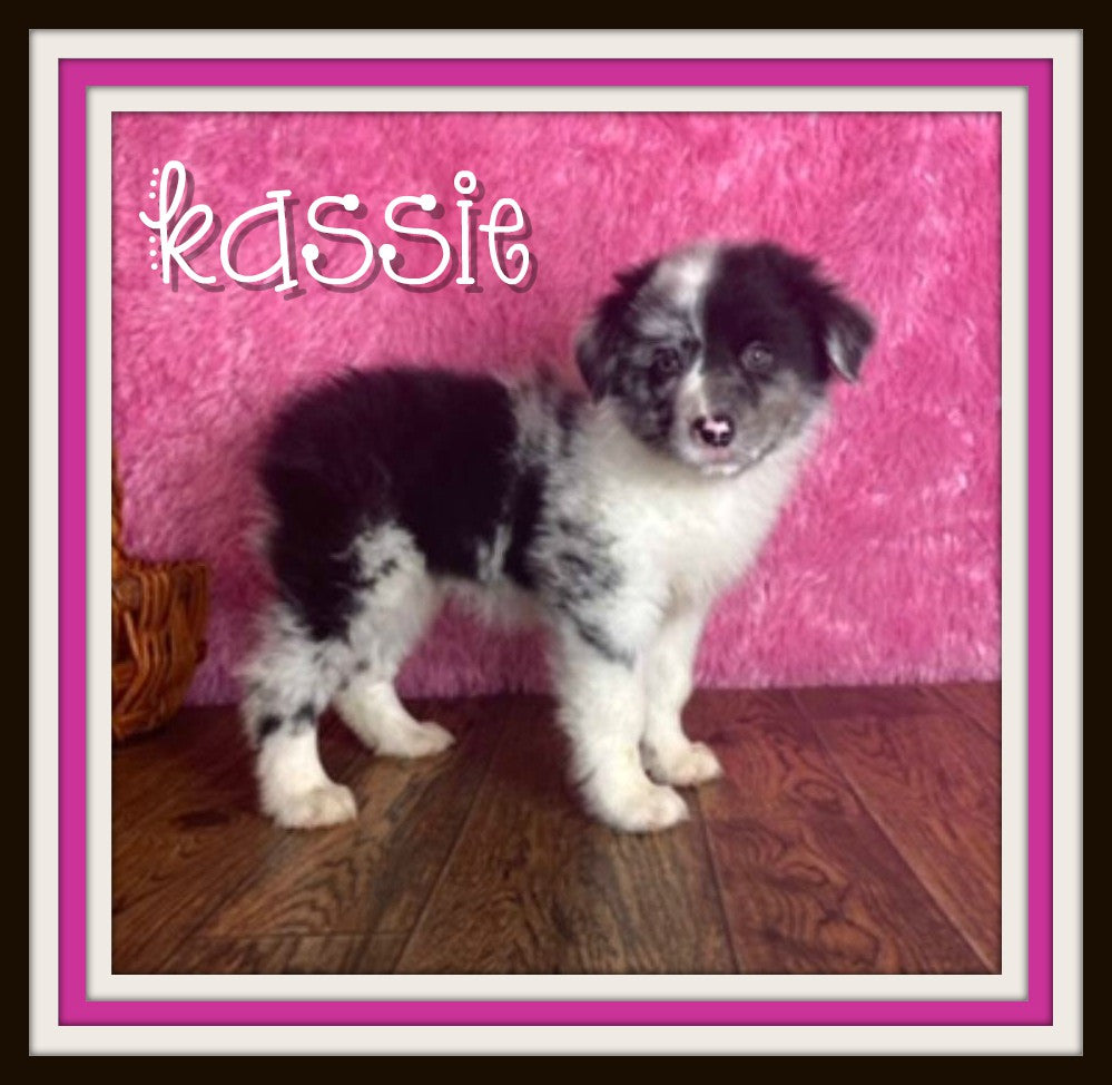 australian shepherd female for sale near me