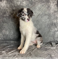australian shepherd female for sale near me in ohio
