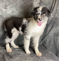 australian shepherd for sale near me