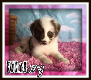 female Australian shepherd for sale near me