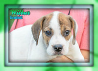 Wilbur Male Beabull Puppy (Full Price 675.00) Deposit