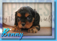 Benny Male ACA King Charles Cavalier $1200
