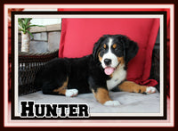 Hunter Male Bernese Mountain Dog $2600