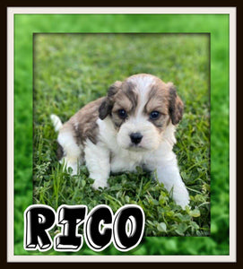 male cavachon for sale near me