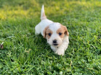 cavachon puppies for sale near me
