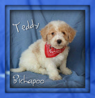 Teddy Male Bichapoo $1150