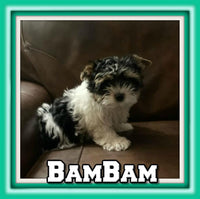 BamBam Male AKC Biewer $2800