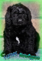 Turner: Male Newfypoo (Full Price $1299.00) Deposit