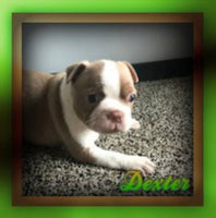 Dexter Male Boston Terrier AKC (Full Price $1199.00) Deposit