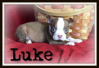 Luke Male Boston Terrier $2000