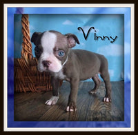 Vinny Male Boston Terrier $2000