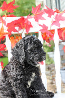 Buddy Male F1b Labradoodle (Full Price $850) Deposit