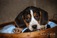 Buster: Male Beagle (Full Price $495.00) Deposit