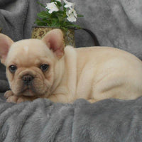 Buzz: Male French Bulldog AKC (Full Price $3499.00) Deposit