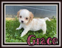 Grace Female Cavachon $2600