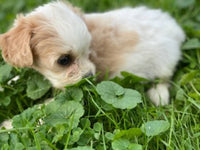 Cuddles Female Cavachon $2000