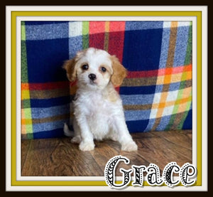 Grace Female Cavachon $2000