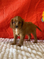 cavalier puppies for sale near me