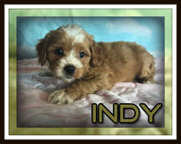 Indy Male Cavapoo $3200