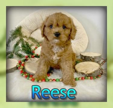 cute cavapoo