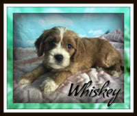 Whiskey Male Cavapoo $3200
