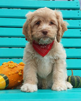 Pumpkin Male Cockapoo $2295