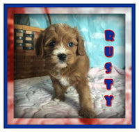 Rusty Male Cavapoo $3200