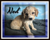 Ned Male Cavapoo $3200