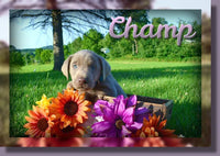 Champ AKC Male Labrador Retriever $600