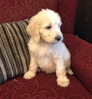 Cindy Lou Goldendoodle (Full Price $1200.00) Deposit