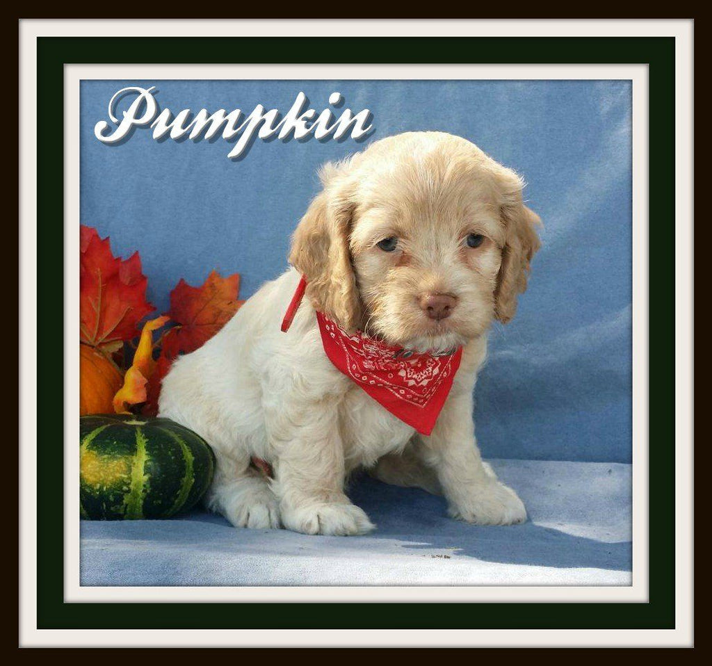 cockapoo puppies for sale near me in ohio