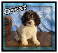 Oscar Male Cockapoo $1600
