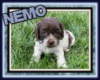 Nemo Male Cockapoo $2600