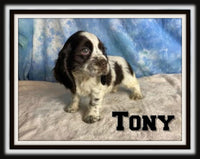 Tony Male ACA Cocker Spaniel $1800