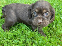 cocker spaniel for sale in northeast ohio
