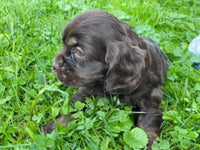 cocker spaniel aca registered