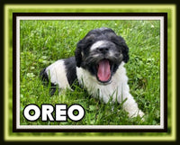 Oreo Male Cockapoo $2600