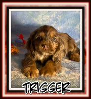 Trigger Male ACA Cocker Spaniel $2000