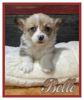 Female Corgi puppy for sale